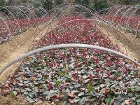 红叶石楠小秧苗,雪松,高杆红叶石楠