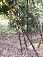 泰竹、乌哺鸡竹、倭形竹、莎草、杉叶藻、王莲价格表