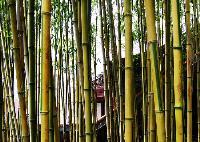 厘竹、辣韭矢竹、水竹、矢竹、少穗竹、大黄苦竹、四季竹价格表
