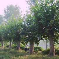 唐竹、红三叶、杂三叶、红枫、黄山栾树、法桐、广玉兰价格表