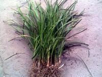 麦冬,麦冬价格,南京麦冬报价,南京朴树,丛生朴树