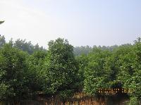 桂花树,桂花树价格,10-20公分八月桂,2米-5米冠桂花