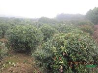 低价供应红叶石楠,2米冠幅精品红叶石楠球,1米-3.5冠石楠