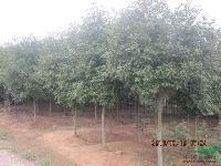 低价出售高杆红叶石楠柱,红叶石楠树,2米冠幅精品红叶石楠球