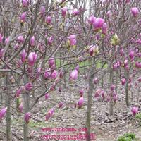 湖南紫玉兰5-6-7-8-9-10-12公分紫玉兰树白玉兰树