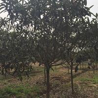 枇杷树4新价格,南京精品冠枇杷报价,石楠价格