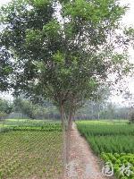 绿化乔木国槐,别名:槐树、白槐、槐蕊,沭阳国槐基地,国槐价格