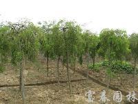 绿化乔木垂槐,垂槐苗,别名:槐树,龙爪槐,盘槐