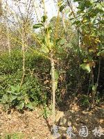 绿化乔木黄金槐,黄金槐小苗,别名:金枝国槐、金枝槐