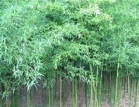 绿化乔木翠竹,翠竹苗,江苏翠竹,翠竹价格,沭阳翠竹