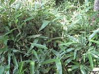 唐竹,别称:四季竹,苦竹,疏节竹,沭阳四季竹