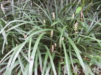 耐荫耐寒草坪地被植物-沿阶草,沿阶草籽,别称:书带草、麦冬