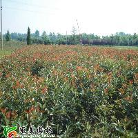 红叶石楠,红叶石楠球,红叶石楠工程苗,红叶石楠容器苗