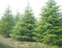 雪松,雪松基地,籽播雪松,大雪松树