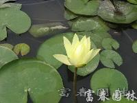 地被植物睡莲,睡莲种苗,别名:子午莲、水芹花、瑞莲、水洋花、