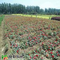丰花月季,红帽月季,大花月季,品种月季