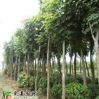 栾树,北京栾树,黄山栾树