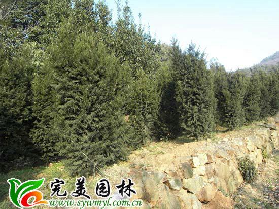 紅豆杉 南方紅豆杉