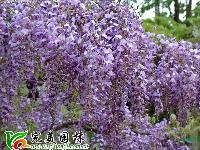 常春藤 紫藤 凌宵  藤本蔷薇