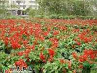 國慶菊  彩葉草  孔雀草 一串紅 草花 盆花