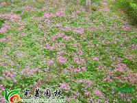 紫叶酢浆草   红花酢浆草