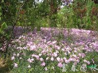 地被植物-常夏石竹,常夏石竹種子,常夏石竹苗,別稱:羽裂石竹