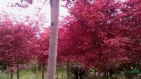 紅楓.梅花.桂花.檵木.赤楠等樹樁