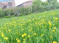 水生植物黄菖蒲,日本花菖蒲,别名:黄花鸢尾、水生鸢尾