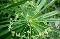 水生植物旱伞草,旱伞草苗,别名伞草、水棕竹、风车草,水生植物