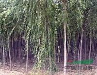 垂柳价格 垂柳苗木销售 4-10公分柳树销售