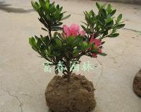 北方耐寒花卉-杜鹃,日本石岩杜鹃,别名满山红,石岩杜鹃