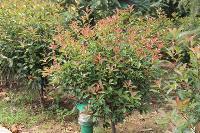 红叶石楠、红叶石楠小苗、红叶石楠球、高杆红叶石楠,别名火焰红
