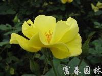 黄帽月季,黄帽月季小苗,黄帽月季工程苗,江苏沭阳黄帽月季