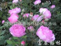 多花蔷薇,粉团蔷薇,白蔷薇,野蔷薇,红花蔷薇苗,
