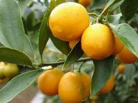 金桔,金桔苗,别名:洋奶桔、牛奶桔,金桔基地,沭阳金桔