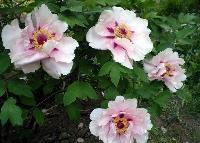 牡丹,红牡丹,白牡丹,牡丹苗,别称:鼠姑、鹿韭、白茸、木芍药