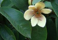含笑,含笑花,含笑苗,江蘇含笑,別名:香蕉花、含笑梅、笑梅