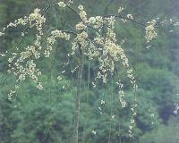 垂梅,垂梅苗,垂梅盆景,别名:垂枝梅、春梅、干枝梅、红绿梅