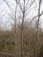 绿化乔木中华灯台树,花边灯台树,别名:六角树、瑞木