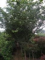 绿化乔木樱花,樱花小苗,别称:仙樱花、福岛樱、青肤樱