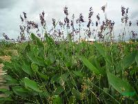 水生植物-再力花,再力花苗,别名水竹芋、水莲蕉、塔利亚