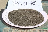 蛇目菊,蛇目菊种子,别称:小波斯菊、金钱菊,江苏蛇目菊