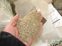 高羊茅,高羊茅种子,别名:苇状羊茅,江苏高羊茅