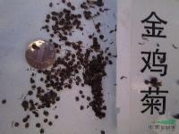 金鸡菊种子,金鸡菊别名:小波斯菊、金钱菊、孔雀菊,金鸡菊基地
