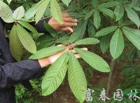 绿化乔木七叶树,七叶树小苗, 别称:梭椤树、梭椤子、天师栗