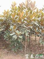 綠化喬木廣玉蘭,廣玉蘭苗,別名:大花玉蘭、荷花玉蘭、洋玉蘭