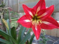 地被植物朱顶红,江苏朱顶红,别名:百枝莲、柱顶红、朱顶兰