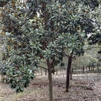 供應各種規格廣玉蘭苗木