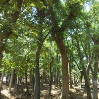 供應樸樹_白櫸樹_青櫸樹苗木