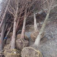 供应水杉_水杉树苗木